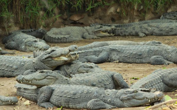 the Madras Crocodile Bank